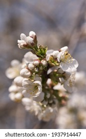 Close up white cherry blossom tree in the spring