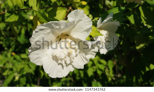 Close up White Chiffon Hibiscus Rose-Of-Sharon flowers on green leaves background.