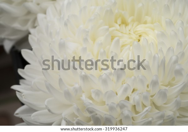 Close up of white chrysanthemum flower.