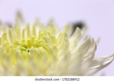Close up of white chrysanthemum on pale purple background