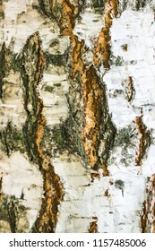 Close up of white coarse birch tree bark with cracks. Abstract natural texture background