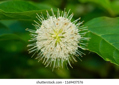 Close up of a white Common Buttonbush flower. Also known as Button-willow and Honey-bells. Todmorden Mills Park, Toronto, Ontario, Canada.