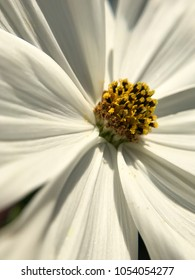 Close up of white cosmos flower and stamens macro