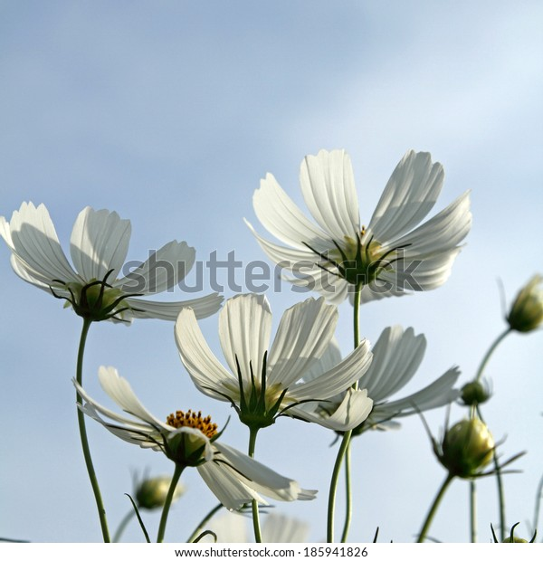 Close up white cosmos flowers in the garden