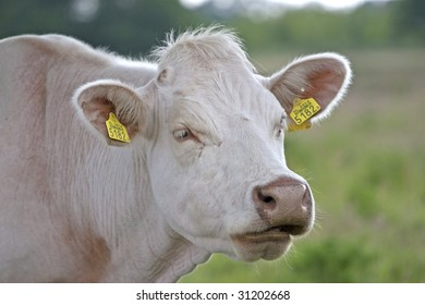 A close up of a white cow