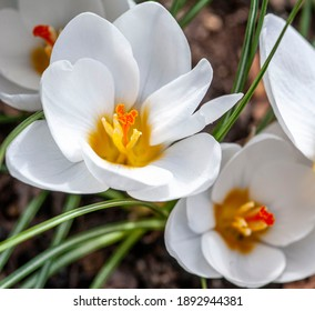 A close up white crocus flowers in a garden in late winter.