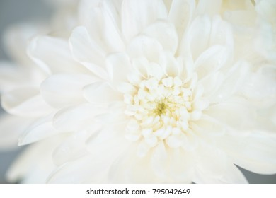 Close up white dahlia flower, soft focus.