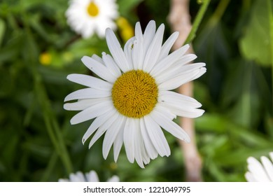 Close up of White Daisy Flower