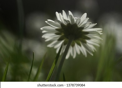 close up of a white daisy isolated in grass field