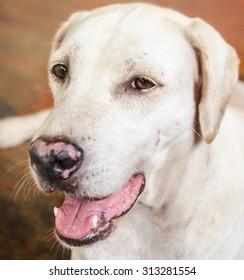Close up White Dog