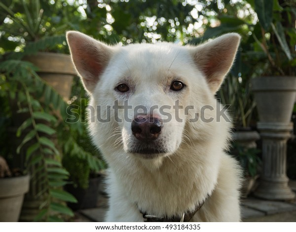 close up white dog in the garden, Thai dog