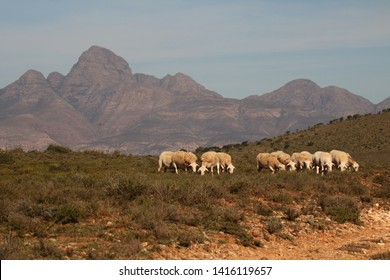 Close up of White Dorper sheep grazing in typical short Karoo vegetation with the large Cockscomb Mountain range in the background.