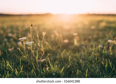 Close up White flower in field with sunrise background