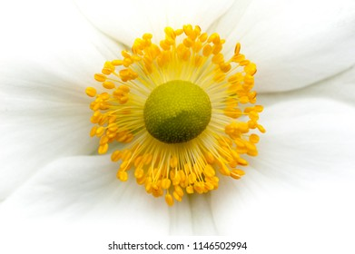 Close up of white flower with yellow stamens and green pistil
