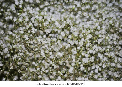 Close up of white flowers of baby's breath, or Gypsophila.