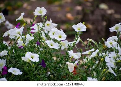 Close up of the white flowers of Calystegia sepium, hedge bindweed. White ipomoea flowers. Flowering field bindweed or Convolvulus arvensis.