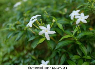Close up of white flowers, Sampaguita Jasmine, in soft blurred style background.
