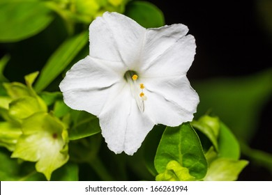Close up of white four o'clock or marvel of peru flower (Mirabilis jalapa) in full bloom