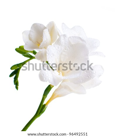 Close White Freesia Flowers Water Drops Stock Photo Edit Now