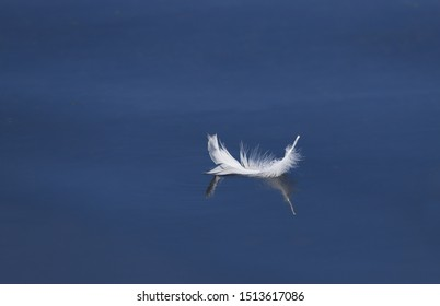 Close up of a white goose bird feather floating and reflecting in clear still blue water.