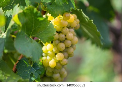 Close up of white grapes