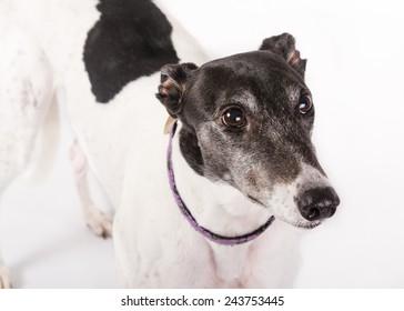Close up of a white greyhound