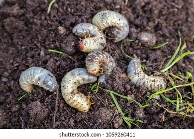 Close up of white grubs burrowing into the soil. The larva of a chafer beetle, sometimes known as the May beetle, June bug or June Beetle.