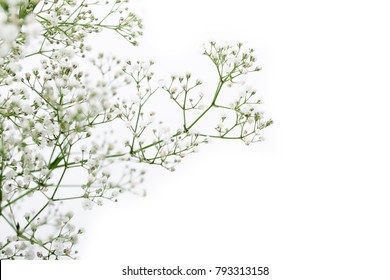 close up of white gypsophila flower isolated on white background and copyspace.