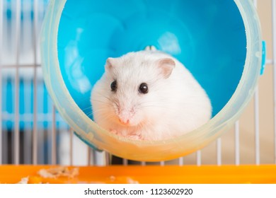 close up white hamster in hamster wheel