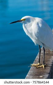 Close up of a white heron in Oceanside, California