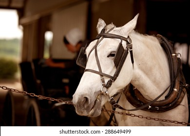 A close up of a white horse hitched to a buggy with a blurred Amish woman working in  the background.