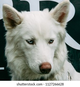 Close up of white husky with blue eyes