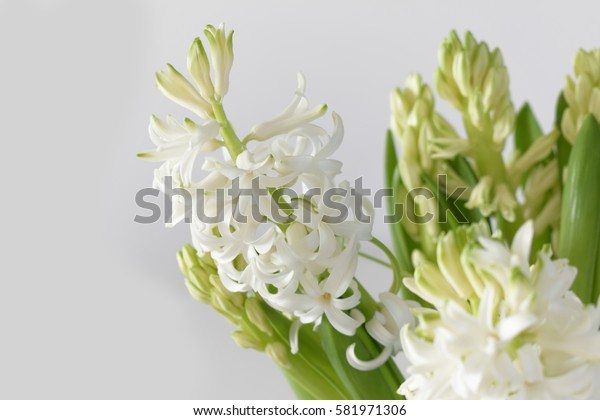 Close up of a white hyacinth flower.Hyacinthus orientalis on white background.