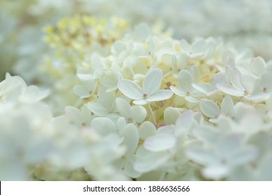 close up of white hydrangea flowers as background