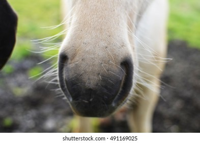Close up of a white Icelandic horse nose in Iceland