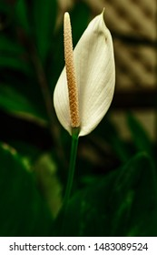 Close up of a white isolated lily in a garden of Singapore