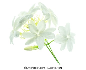 Close up of white jasmine flower isolate on white background.