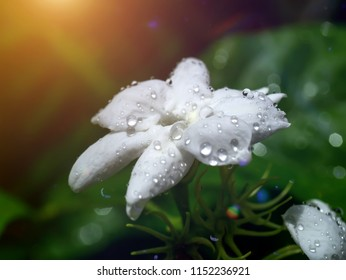 Close up of white jasmine flower with light and bokeh.