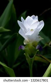Close up white krachai flower blooming in garden.
