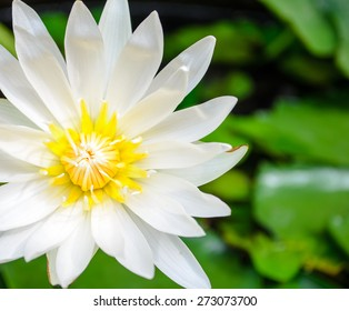 Close up of white lotus blossom on pond