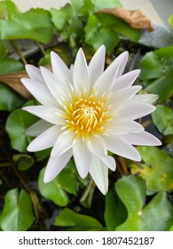 Close up of white lotus flower in the park