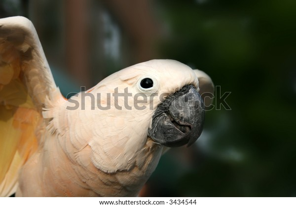 Close up of a white macaw spreading wings