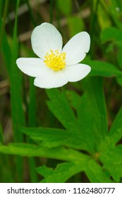Close up of a white Meadow Anemone flower. Also known as Canada Anemone, Crowfoot, and Round-headed Anemone. Presqu'ile Provincial Park, Brighton, Ontario, Canada.