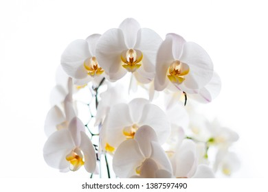 Close up of white orchids