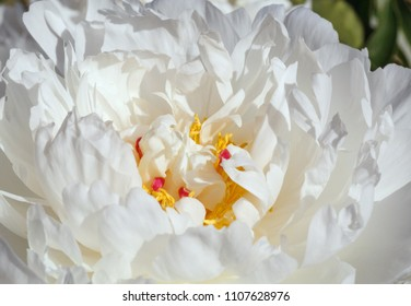 close up of white peony flower in garden