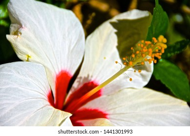 Close up of white & pink hibiscus in the Spanish sunlight