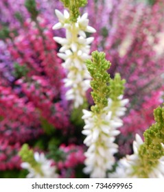 Close up of white, pink and purple flowers in bloom on a common decorative heather outdoor plant.