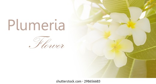 Close up of white plumeria for decorate and design project.