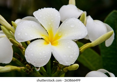 Close up of white plumeria or frangipani blossom on the plumeria tree.