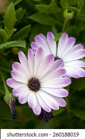 Close up of white and purple daisy